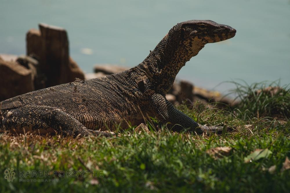 bangkok lizard